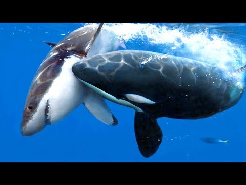 Orcas Have Been Eating Great White Sharks In South Africa Youtube