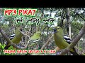 Suara Pikat Burung Cipoh Jantung Ribut Mix Sg Pulot  Mp3 - Mp4 Download