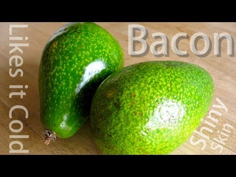 Grafted Avocado - Bacon (B) - The Shiny Avocado that loves Cold Climates