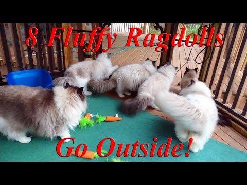 8 Ragdoll Kitties Visit The Gazebo!