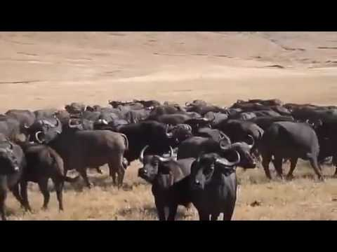 Overcoming Buffaloes at Work and in Life