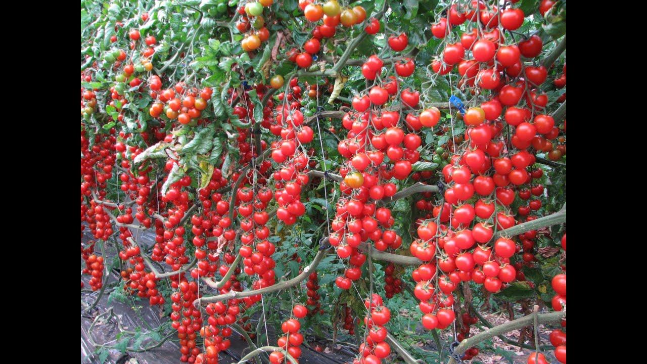 Come legare piante di pomodoro youtube for Piante pomodori in vaso