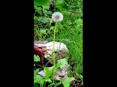 """Naturbeobachtung Gewöhnlicher Löwenzahn(""""Pusteblume"""")(Taraxacum officinale)"""