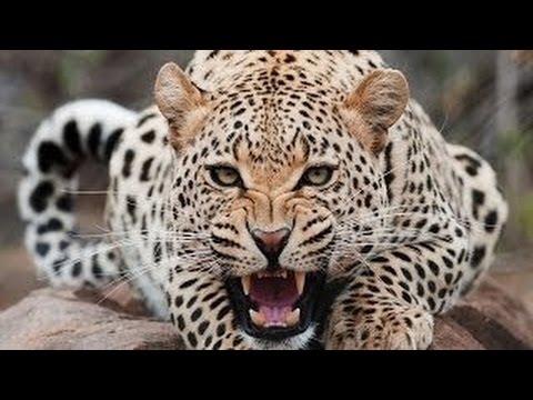 Leopard Queen HD - In The Eyes Of A Leopard [Metamorphosis Documentary]
