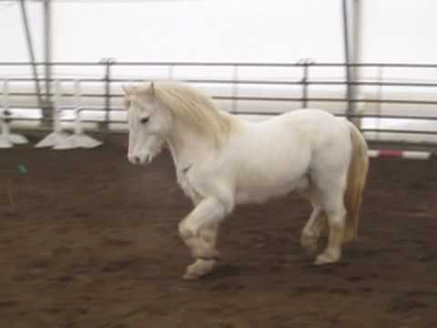 markey free moving welsh pony for sale in oregon youtube