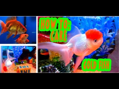 HOW TO CARE: GOLD FISH, THE INSIDES AND OUT OF THE BASICS TO THE ADVANCED