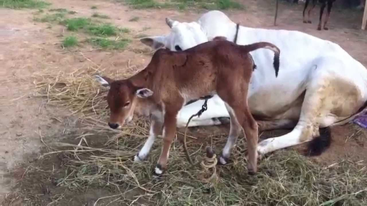 Ongole Cow - Natural Birth - YouTube