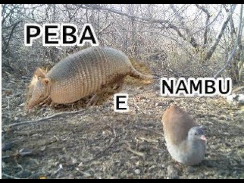 CAÇADA DE NAMBU E DEU PEBA TAMBEM
