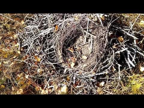 Осенью не только листья падают с деревьев но и гнезда.