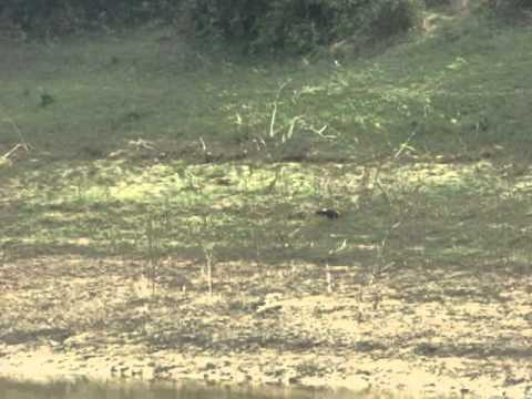 Gà rừng (gà trống) đang kiếm ăn ven hồ trong rừng Trường Sơn