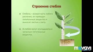 Строение стебля.Биология в стихах 6 класс.