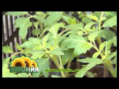 Пензенские овощеводы показали мастер-класс по выращиванию огурцов .