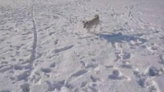 雪遊び。雪の広場にて、白柴ベリーちゃんと戯れるシュナ。 ☆ http://blo...