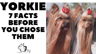 Before Getting a YORKIE, YORKSHIRE TERRIER  Facts to Consider!