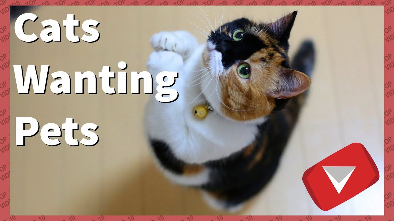 Cats Demanding Petting [2017] (TOP 10 VIDEOS)