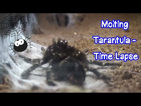 Molting Tarantula - Time Lapse: Our Other Adorable Pets 3 - VOL. 48