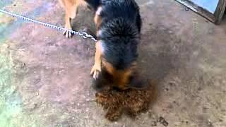 German Shepherd Vs Poodle Red
