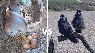 Kestrel vs Jackdaw | Brutal Fight To Defend 6 Kestrel Bird Eggs