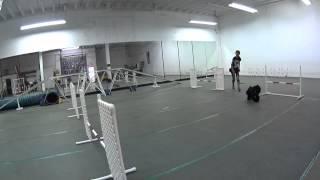 Junior American Cocker Spaniel Agility Training Beginner His Bad Version