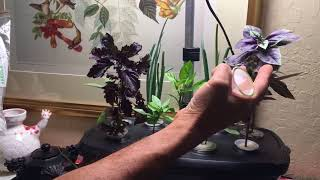 How to grow herb and onion cuttings in the winter in your Aero gard...