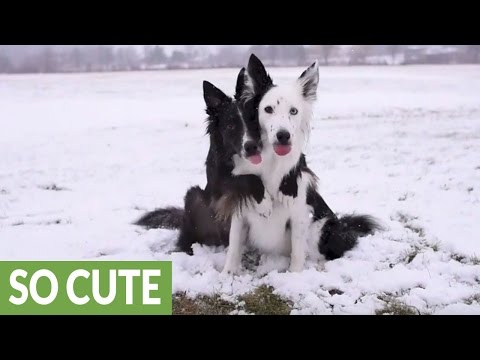 Dogs flawlessly pose for pictures in the snow