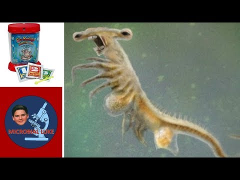 SEA-MONKEYS UNDER A MICROSCOPE: Artemia Salina Cryptobiosis Crustaceans | Microscope Monday