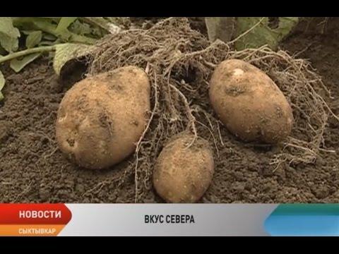 Селекционеры Республики Коми вывели морозоустойчивый сорт картофеля