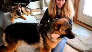 German Shepherd Puppies For Sale 2013