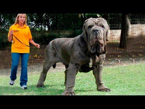 Топ 5 самые большие породы собак