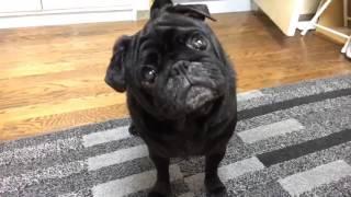 話かけると反応する黒パグです。可愛いです。 Movie by SlideStory http...