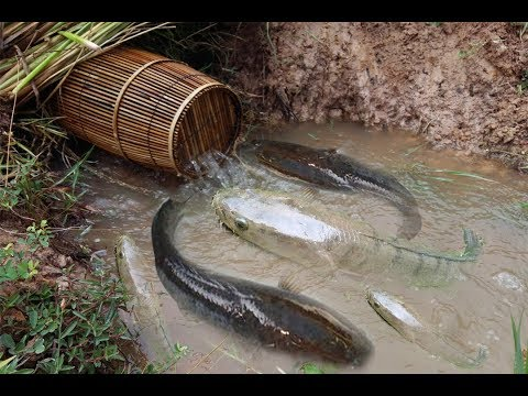Traditional fish trap at country side get alot of fish 100% - Best Fishing Videos by natural life