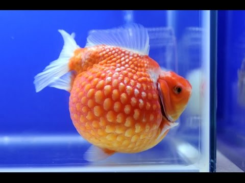 Everything About Pearlscale Goldfish