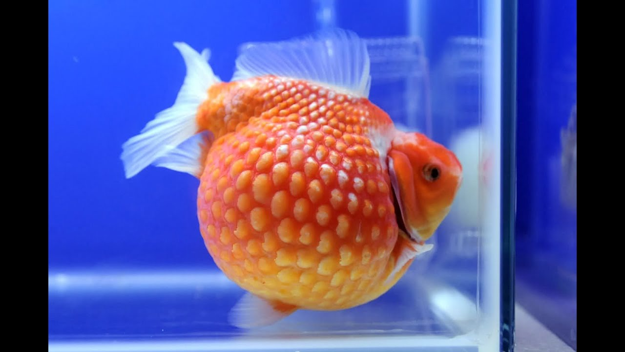 everything about pearlscale goldfish youtube