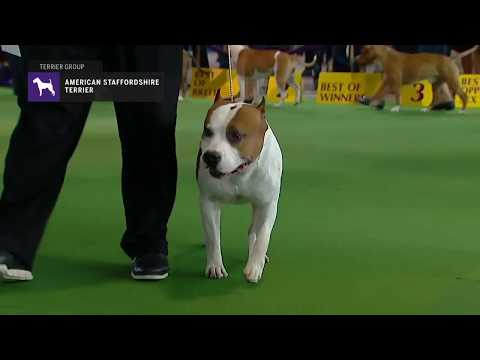 American Staffordshire Terriers | Breed Judging 2019