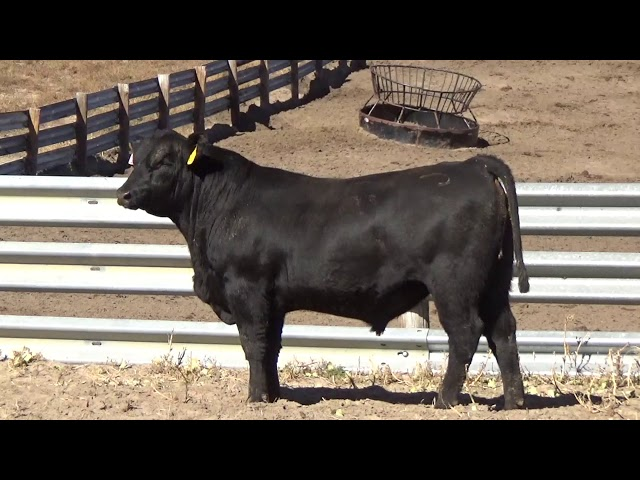 Connealy Angus Lot 157