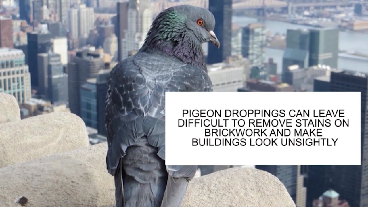 How to get rid of pigeons 51