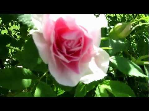 Canadian roses. Канадские розы