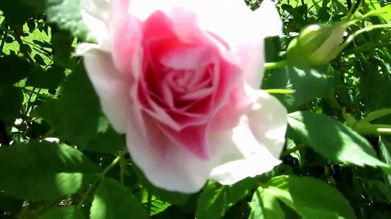 Садовый дизайн с розами. Зимостойкие кустовые розы шрабы предлагаем купить по цене от 450 рублей за однолетний саженец в контейнере 1,5-2л. Несколькими кустовыми розами разных форм стоит разнообразить дизайн каждого сада в подмосковье. Канадские парковые розы самые зимостойкие,