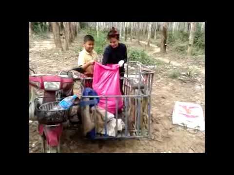 วิธีเก็บขี้ยาง(เก็บมูลยาง)ชีวิตครอบครัวชาวสวนยางพารา
