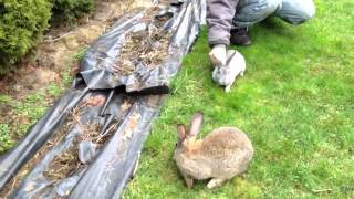 Funny rabbits. Кролики великаны. Прикольное видео.(Кролики развлекаются на свободе., 2013-02-04T20:17:21.000Z)