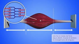 Contraction musculaire concentrique excentrique isométrique