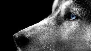 Dogs 101  - Siberian Husky