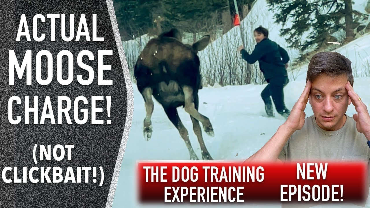 Training My Own Dog: An Honest Look at Where We are Now. - download from YouTube for free