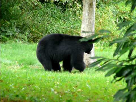 Black Bear Warning!!!