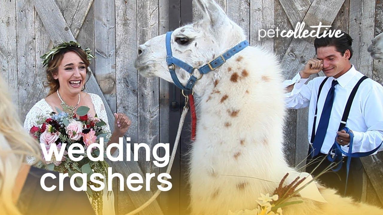 Watch Wedding Crashers Online.Pet Wedding Crashers The Pet Collective