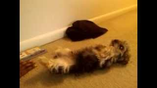 Yorkie Poo Gets Punished For Eating Double Chocolate Chip Cookie, Uh-oh!!!