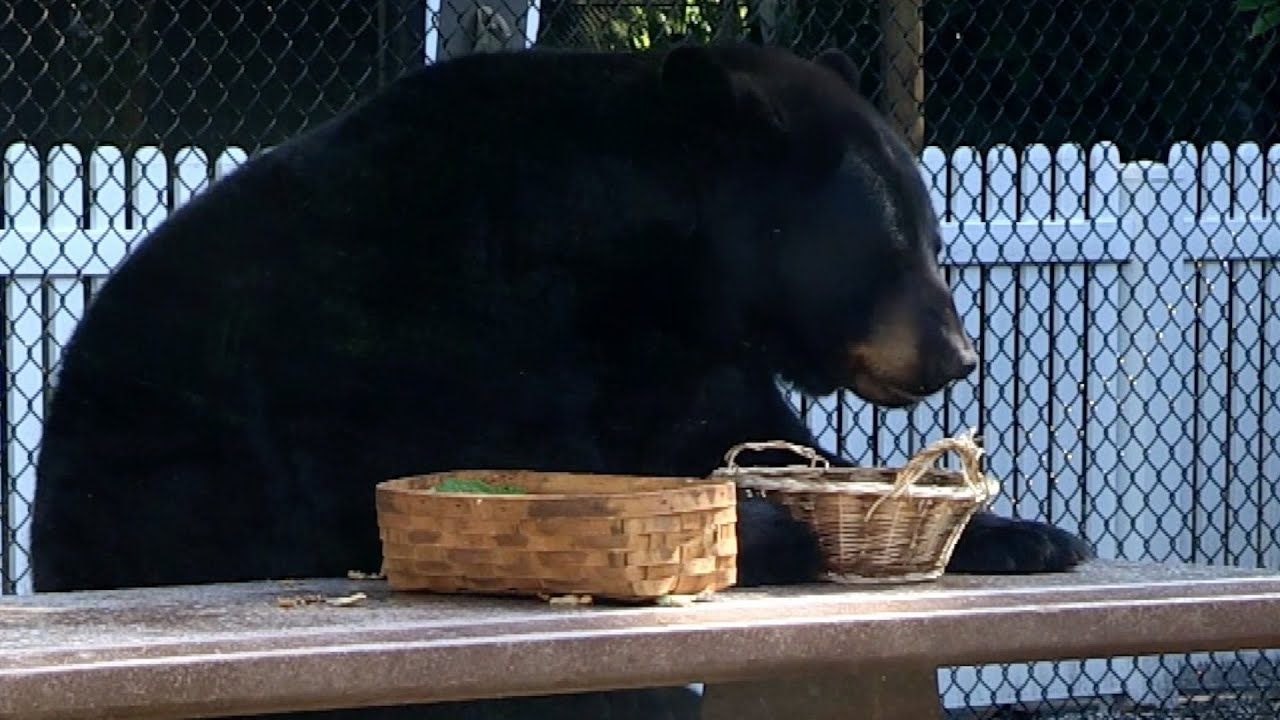 Black Bears Acting Like Humans Animals Unexpected Preview BBC - 15 funny bears acting like humans
