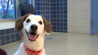 Bailey A Beagle:jack Russell Terrier Mix Available For Adoption At The Wisconsin Humane Society