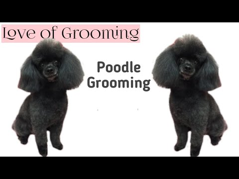 Grooming a Toy Poodle