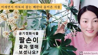 공기정화식물 팔손이키우기, 꽃 열매 새순, 아토피 미세…
